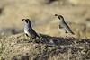 Gambel's Quail (Sean Stubben) Tags: bird birds quail rocks desert nature wildlife photography majestic