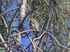 Northern Pygmy-Owl, Glaucidium gnoma (bruce_aird) Tags: