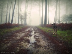 The rains are here (Guillermo Carballa) Tags: rain water mist fog forest woods ferns trees pineslight morning winter colors carballa dog dogs animals chiska lx5 puddles leaves alone pahts