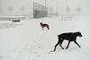 Pim en Fabio in de sneeuwstorm (Marja S) Tags: winter snowstorm dobermann