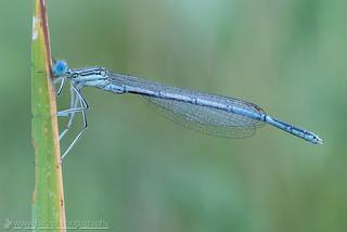 wet blue featherleg