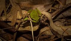 Litoria fallax (dustaway) Tags: litoria tamborinemountain mounttamborine sequeensland queensland australia nature australianwildlife amphibia frog australianfrogs dwarftreefrog easternsedgefrog