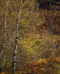Klimt Birches º (CactusD) Tags: glennevis glen nevis gold birch woodland scotland autumn colour autumncolour trees greatbritain great britain nikon d800e fx texture uk unitedkingdom gb landscape intimatelandscape detail film 5x4 4x5 details fuji fujichrome velvia velvia50 largeformat large format digitized linhof technikardan tks45 s45 nikkorw210mmf56 210mm f56