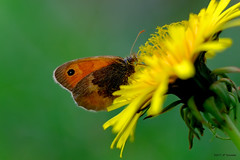 Un fadet en novembre (jpto_55) Tags: papillon insecte procris fadetcommun macro bokeh fuji fujifilm hautegaronne france fujixf55200mmf3548rlmois
