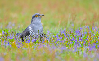Cuckoo with the Blues....