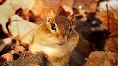 Could You Spare A Peanut? (LupaImages) Tags: chipmunk tiny small fur face cute animal mammal critter chubby outdoors leaves eyes nature wild wildlife