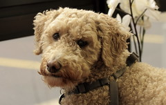 Harry, at work. 39 (EOS) (Mega-Magpie) Tags: canon eos 60d indoors harry cute pet dog puppy il illinois