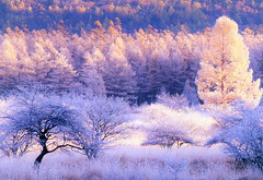 Morning of a hoarfrost 2 (chikaraamano) Tags: morning hoarfrost forest fogdeposit bog neat plateau autumn color light wetlands field larchtrees peak comes meadow beautiful coloring mountain nature outdoor tree grass cold exhilarating lovely