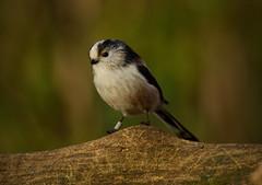Long-tailed tit (Ratsiola) Tags: elements naturalworld tits brown nature wildlife