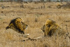 Lions in Kruger - two still close to the road (NettyA) Tags: 2017 africa day3 krugernationalpark southafrica animal lions malelions safari travel wildlife