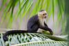 White-faced Monkey (Cebus capucinus) (www.NeotropicPhotoTours.com) Tags: whiteheadedcapuchin whitefacedcapuchin monkey feeding coconut costarica juancarlosvindas neotropicphototours palmleaves sideview lookingatcamera nature wildlife corcovado outdoors