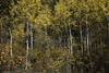 Suffused with the Season (courtney_meier) Tags: colorado coloradorockies fall maroonbellssnowmasswilderness populustremuloides rockymountains southernrockies aspens autumn fallcolor forest trees wilderness carbondale unitedstates us