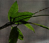 Shadow and Light (vbd) Tags: pentax k3 vbd hdpentaxda55300mmf4563edplmwrre ct connecticut leaf newengland leaves plant screen grid abstract handheld manualfocus 2017 spring2017