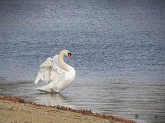 Swan Beauty (deu49097) Tags: swan wings