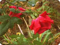 Red Roses. (dccradio) Tags: lumberton nc northcarolina robesoncounty outside outdoors nature natural flower floral flowers flowergarden flowerbed rose roses rosebush rosegarden rain rainy water waterdroplets droplets raindrops dropletsofwater decemberrose winterrose leaf leaves greenery sony cybershot dscw230