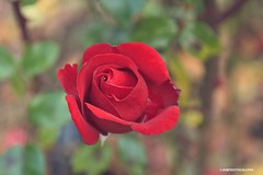 (JSB PHOTOGRAPHS) Tags: dsc7386 owenmemorialrosegarden eugeneoregon nikon owenrosegarden bokehlicious bokeh autumn rose roses 1755mm d70s
