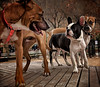 Meaner Than a Junkyard Dog (Kathy Macpherson Baca) Tags: animal animals dog dogs pet pets nyc urban dogpark frenchbulldog play pack order leader world planet earth puppy