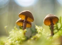 Trio of Agarics: Cystodermella granulosa (Eden Bromfield) Tags: cystodermellagranulosa mushroom agaric canada oreston vintagelens forest edenbromfield moss fungus sunshine bokeh trio saphrophyte