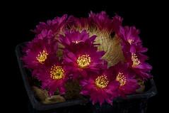 Sulcorebutia cupreata kk1800 (clement_peiffer) Tags: sulcorebutia cupreata kk1800 flowerscolors d7100 105mm cactaceae succulent peiffer clement nikon cactus fleurs flower spines epines kaktusi кактуси