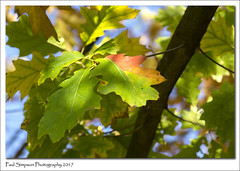 Autumn Approaches (Paul Simpson Photography) Tags: leaves leaf nature sonya77 paulsimpsonphotography tree autumn october2017 photosof photoof imagesof imageof sunshine leafcolour colours colors fall naturalworld england