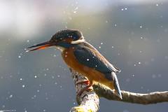 Martin Pescatore (Claudio Ghizzo) Tags: kingfisher martinpescatore alcedoatthis nikon wildlifephoto