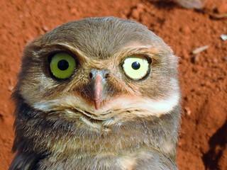 OWL PUPPY - Athene cunicularia (explore)