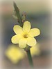 Winter jasmine flower (ronramstew) Tags: winterjasmine flower garden plant forfar angus scotland yellow