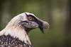 2017-05-04-Pairi_Daiza-1199.jpg (BZD1) Tags: lammergier natuur nature pairidaiza gypaetusbarbatus vogel gypaetus beardedvulture animal brugelette wallonie belgië be bird aves