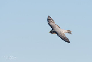 Peregrine Falcons of Alpine | 2107 - 24