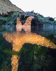 Uncommitted (Lisa Ouellette) Tags: limantour estero pointreyes drakesestero starfish seastar orange