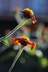 Petals Have Fallen Off (haberlea) Tags: garden mygarden sunflowers orange green mexicansunflowers nature flowers petals falling