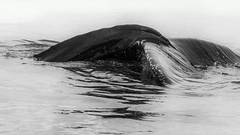 Diving (Role Bigler) Tags: bw blackwhite blackandwhite buckelwal canoneos5dsr ef4070200isusml fauna humpback humpbackwhale husavik iceland island megapteranovaeangliae natur nature sea diving nordatlantik northatlantic schwarzweiss wal whale