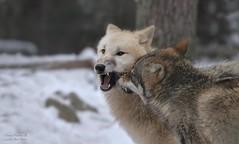 NITIKA & AYASHA (babsbaron) Tags: nature animals tiere wolf wölfe wolves predators hunter jäger wildtier raubtier greywolf grauwolf polarwolf europäischergrauwolf europeangreywolf young wildpark lüneburg lüneburgerheide polar
