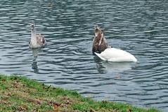 gemeinsam gründeln (mama knipst!) Tags: schwan swan jungschwan wasservogel bird decksteinerweiher köln cologne herbst autumn november