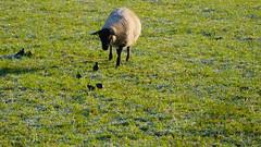 Sheep and starlings grazing (Dave_A_2007) Tags: sturnusvulgaris animal bird mammal nature sheep starling wildlife wombourne staffordshire england