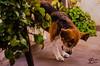 Catching (BrenBlur) Tags: dog beagle animals argentina
