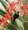 Bronze Sunbird/Nectarinia kilimensis (odileva) Tags: lakebunyonyi august bronzesunbirdnectariniakilimensis oiseaux lake bird uganda nature ndorwa westernregion ouganda ug