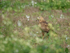 Long-Legged Buzzard (jude.vincy) Tags: longlegged buzzard raptor bird birds green field grass flowers doha qatar middleeast arab gcc