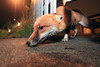 Urban Fox, Bristol, Ian Wade (Disorganised Photographer - Ian Wade - Travel, Wil) Tags: urban fox vuples vulpes city wde angle bristol ian wade vulpesvulpes canon