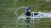 Hooded Merganser (Bob Gunderson) Tags: birds california divingducks ducks goldengatepark hoodedmerganser lloydlake lophodytescucullatus mergansers northerncalifornia sanfrancisco sunrays5