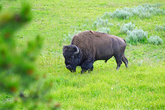 King of Yellowstone, Wyoming, USA (Andrey Sulitskiy) Tags: usa wyoming yellowstone
