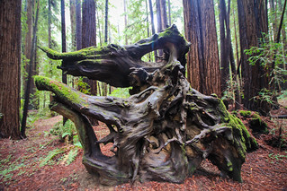 Old root system of a fallen tree