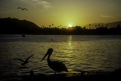 Sunset (woodchuckiam) Tags: sunset santabarbara california pelican seagulls palmtrees mountains pacific ocean water scenic kodachrome woodchuckiam