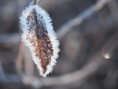 frosted (janicelemon793) Tags: leaf frozen frosty macro