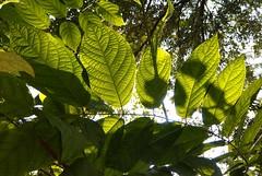 Sunshine serendipity (Vidya...) Tags: leaf green sunlight winter sharp clear veins