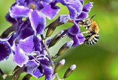 Blue banded Bee 009 (DMT@YLOR) Tags: bee bluebandedbee male fivestripes bands goodna ipswich queensland australia native geishagirl bud buds
