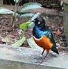 Superb! (Peter Denton) Tags: kualalumpur superbstarling lamprotornissuperbus ©peterdenton southeastasia malaysia kl birdpark captivebreeding bird nature ornithology canoneos100d eye