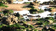 Red Shank (ray 96 blade) Tags: birds redshank seashore broadstairs harbour rockpools lowtide bestviewedlarge kent wildlife