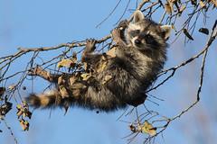 Young Raccoon (explored 11/20/2017) (Lynn Tweedie) Tags: racoon explore blue berry mask black brown releasethememo