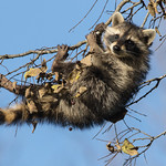 Young Raccoon thumbnail